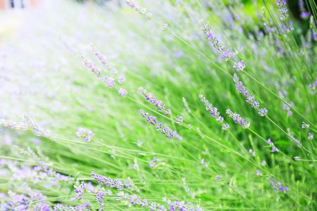 Lavender flowers blooming, summer season , beautiful violet aromatic plants.