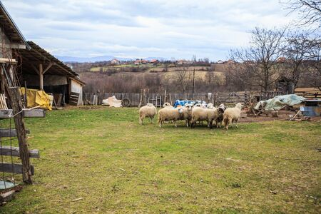 Sheep on the farm. Beautiful autumn rural landscape. Countryside panorama