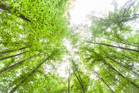 Spring green forest , view up, beautiful nature landscape.