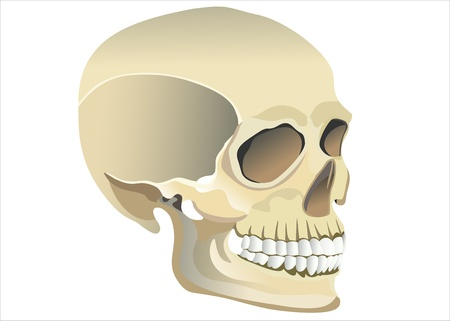 sapience: Human skull model Illustration