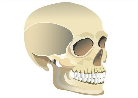 Cranio modello umano