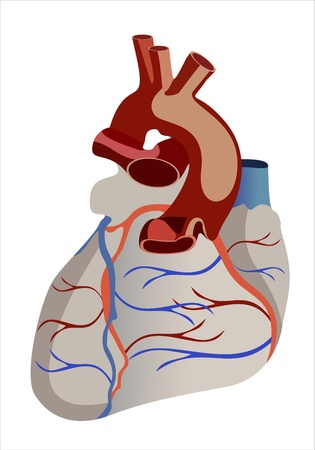 pulmonary trunk: Human heart anatomy from a healthy body isolated on white background as a medical health care symbol of an inner cardiovascular organ. Illustration
