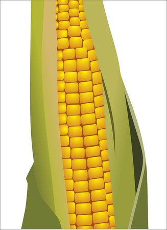 corncob: corncob vector illustration isolated on white background Illustration