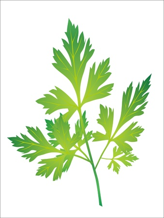 Branch of parsley Stock Vector - 16563499