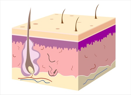 epidermis: 3D skin oblique with cut away epidermis