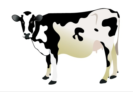 crazy hair: cow isolated on a white background