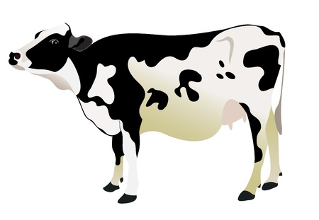 nose close up: cow isolated on a white background