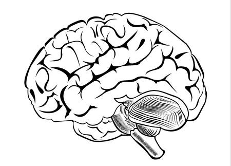fissures: human brain