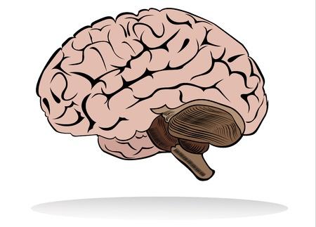 human brain Stock Vector - 18463852