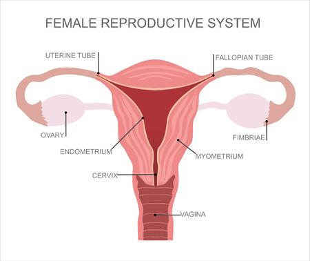 子宮と卵巣は、女性の生殖器系の器官  イラスト・ベクター素材