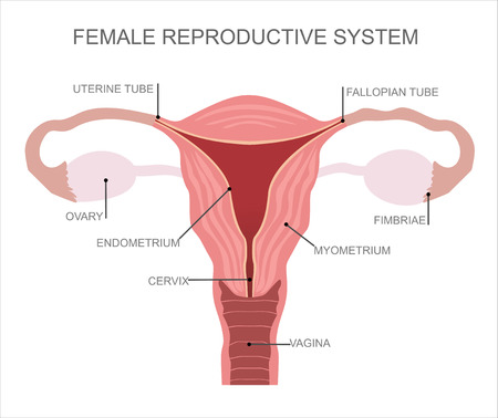 femme dessin: Ut�rus et ovaires, organes du syst�me reproducteur f�minin Illustration