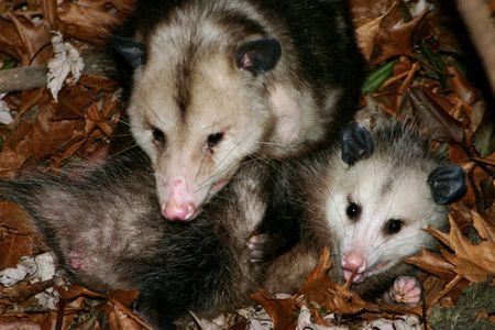 invade: Possums invade our suburban home