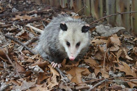 najechać: Possums inwazji naszego podmiejskiego domu Zdjęcie Seryjne