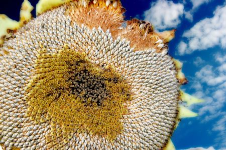 A sunflower that has gone past its peak shows off its seeds. photo