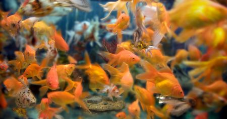 a large group of swimming goldfish in an aquarium - lots of motion and blurring some fish in focus - most are not Stock Photo - 3220806