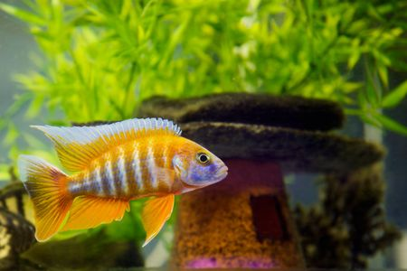 Beautiful African Cichlid (Red Peacock) swimming in the aquarium. Lots of bright orange. Stock Photo