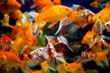 aquarium hobby: a large group of swimming goldfish in an aquarium - lots of motion and blurring some fish in focus - most are not