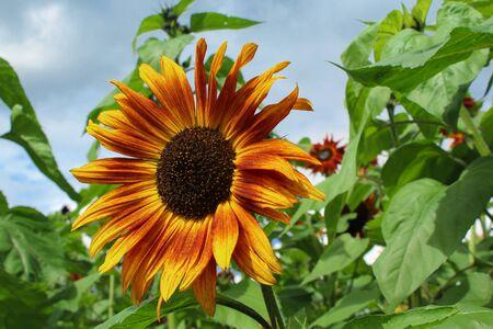 Sunflower in the field Stok Fotoğraf