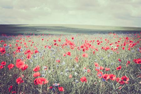 poppy fields on ruegen at the baltic sea Stock Photo