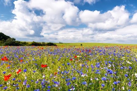 poppy fields on ruegen at the baltic sea 写真素材