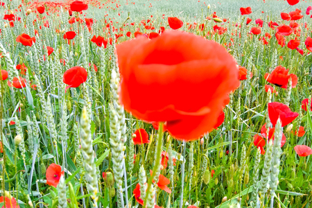 Poppy fields on Ruegen at the Baltic sea