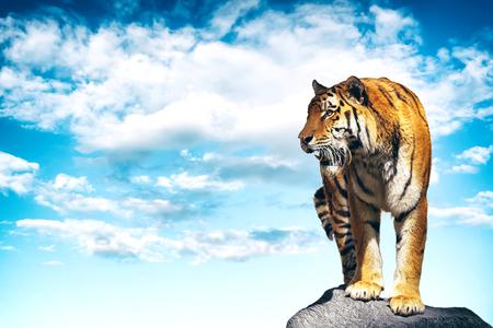 Tijger die op een rots wordt vrijgegeven