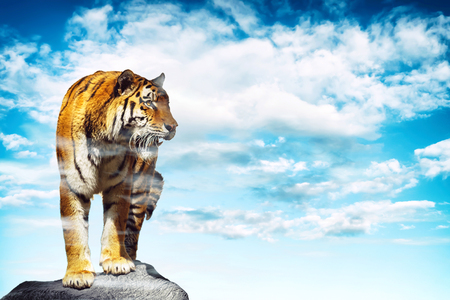 siamese: Tiger released on a rock