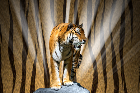 Tiger released on a rock
