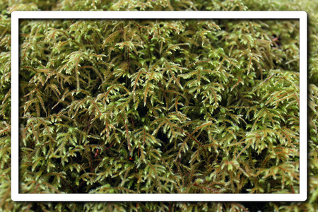 Graphic Design Resource of Moss Macro Photo with White Border Frame for Flyers.