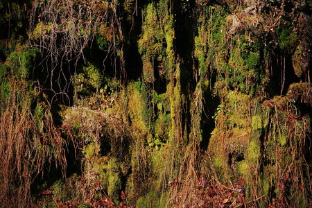 Moss and Lichen Hanging Down from Tree Roots on the Mountain Side.
