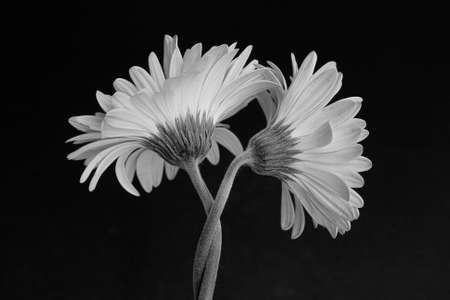 Black and white image of daisies wrapped around each other Reklamní fotografie