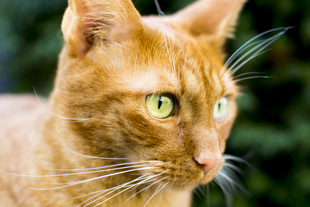 serious looking red cat Stock Photo