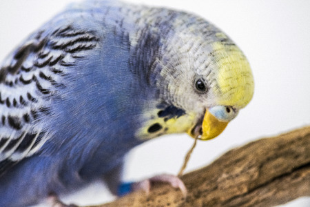 Blue budgie plays with a wooden stick in the beak 写真素材
