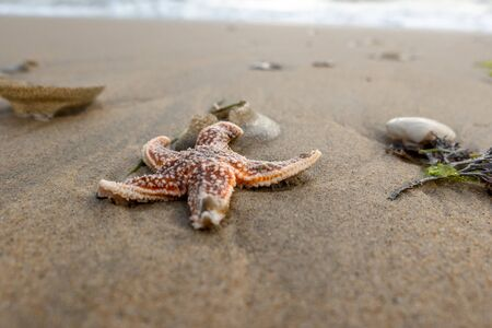 red starfish on the sandy beach with shells on the sandy beach