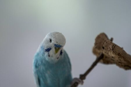 blue budgerigar with white had funny