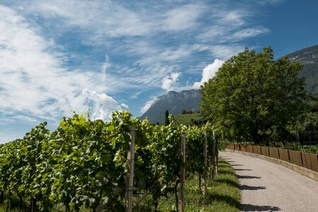Viticulture with path and blue sky and clouds in South Tyrol Stockfoto