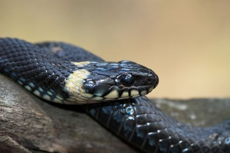 natrix: The high resolution image of grass-snake on the beam