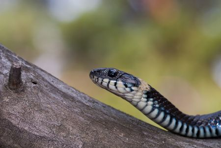 black water snake sitting on the beam Stock Photo