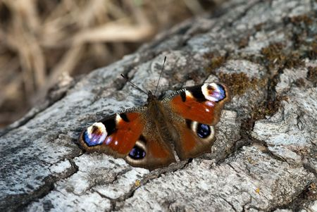 inachis: The peacock butterfly sitting on the beam Stock Photo