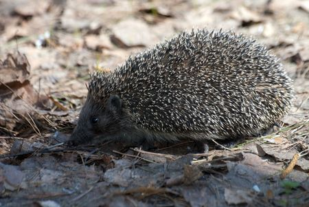 hedgehog in the spring forest