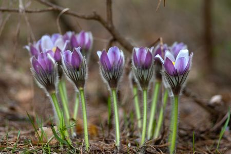 pasque-flowers in the spring forest