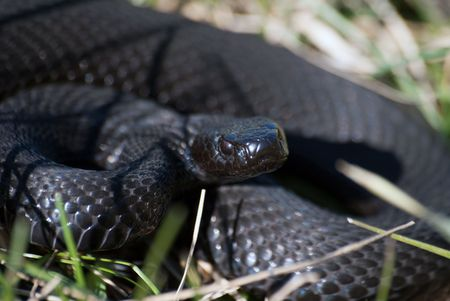 The black poisonous snake looking at the objective lens Stock Photo