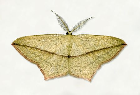 isolated image of the blood-vein geometrid moth