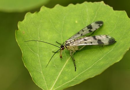 The scorpionfly sitting on the leaf of aspen