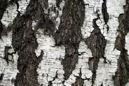 The high resolution image of birchs bark