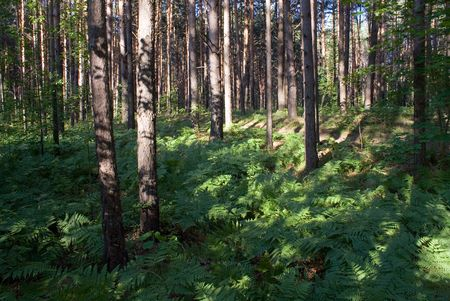 The boreal forest with pine trees and fern