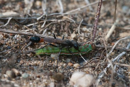 The parasitic sand wasp Ammophila sabulosa with prey Stock Photo