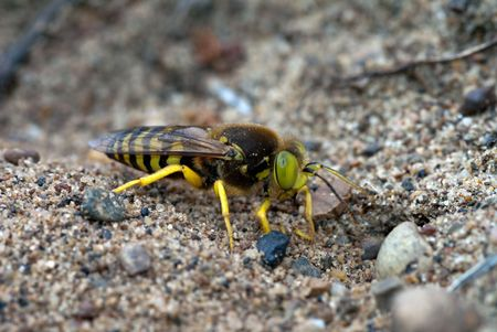 High resolution image of Bembex rostratus the parasitic sand wasp Stock Photo