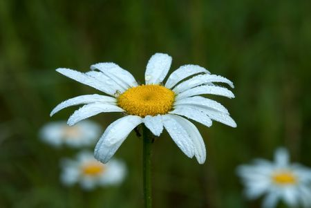 Blossoming flowers of camomile with drops of dew