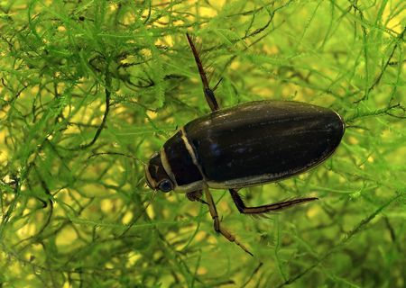 The yellow-margined diving beetle Stock Photo